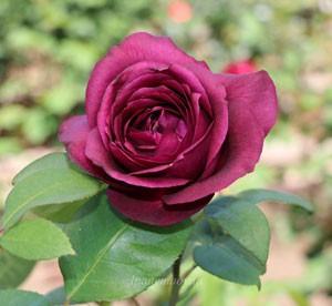 濃黒赤色の花色にはブルーイングが入ることもある