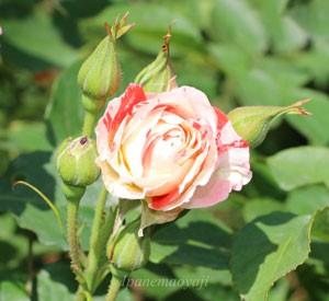 オレンジスプラッシュはフロリバンダ系統のバラ