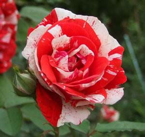 花もちがよく褪色の少ない品種