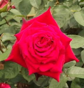 オジリアはハイブリッドティー系統の濃赤色のバラ