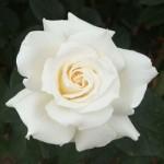 パスカリ バラ