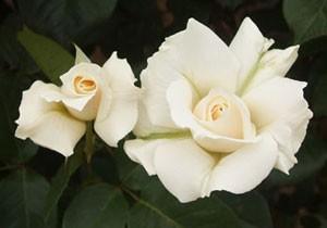 パスカリは剣弁高芯咲きのバラです