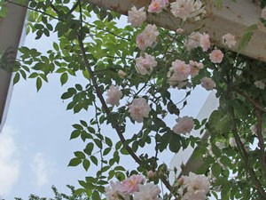 ポールズ ヒマラヤン ムスクは半八重のポンポン咲きです