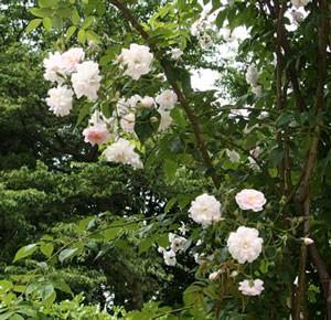 ポールズ ヒマラヤン ムスクは一季咲き品種です