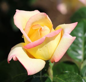 ピースは半剣弁高芯咲きのバラ