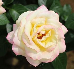 ピースはクリームイエローの花色に淡いローズ色の覆輪が入る