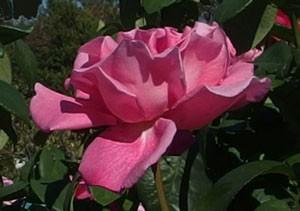 パフューム デライトの花形は丸弁高芯咲きです