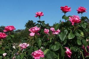 パフューム デライトは四季咲き性です