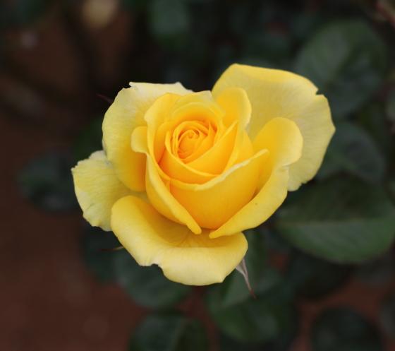 ファルツァー ゴールドは黄色系のバラです