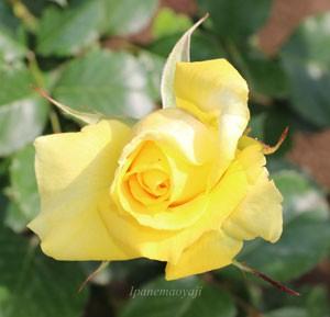 ファルツァー ゴールドの花形は半剣弁高芯咲きです