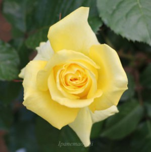 ファルツァー ゴールドの花径は10cmの大輪花です