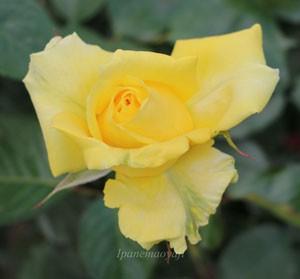 ファルツァー ゴールドは四季咲き品種です