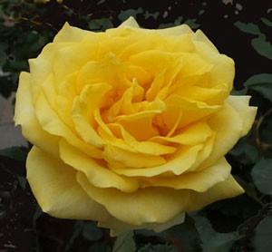 ファルツァー ゴールドはハイブリッドティー系統のバラです