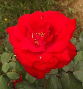 ファラオンの花形は丸弁平咲きです