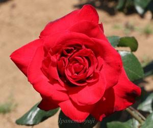 ファラオンは房咲きになるが花つきは少ない品種です