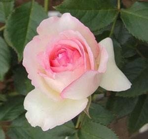 ピエール・ドゥ・ロンサールは大輪咲きつるバラです