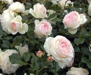 ピエール・ドゥ・ロンサールは一季咲きです