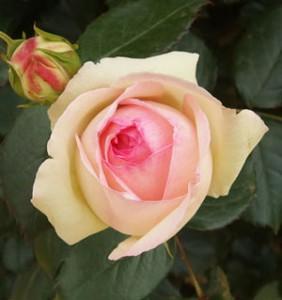 ピエール・ドゥ・ロンサールは人気の高いつるバラ品種です