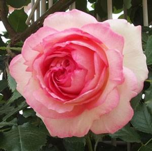 ピエール・ドゥ・ロンサールの花径は12cm前後の大輪サイズ