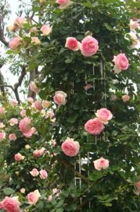 ピエール・ドゥ・ロンサールは花つき花もちがよい品種です