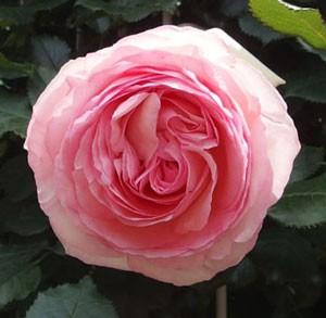 ピエール・ドゥ・ロンサールはカップ咲き~ロゼット咲きへ変わります