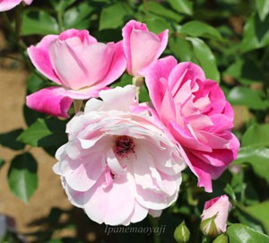 ピンク アイスバーグは名花アイス バーグの枝変わり品種です
