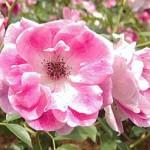 ピンク・アイスバーグ バラ