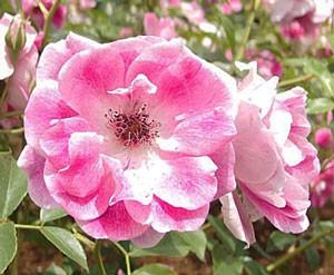 ピンク アイスバーグの花径は約7cmの中輪花です