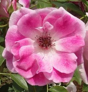 ピンク アイスバーグは中輪サイズのバラ