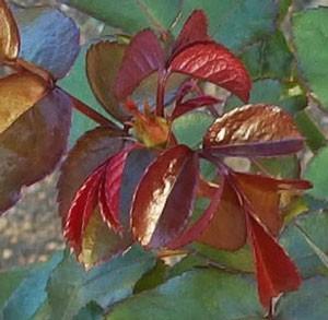 プレイボーイの枝葉は赤みを帯びる