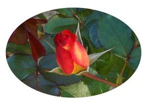 プレイボーイは八重咲きの中輪花です
