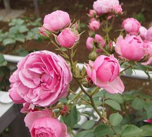 ポンポネッラは小輪四季咲き品種です