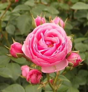 ポンポネッラは適温であれば繰り返し咲きます