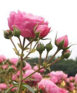 ポンポネッラの花色は濃いピンク色です