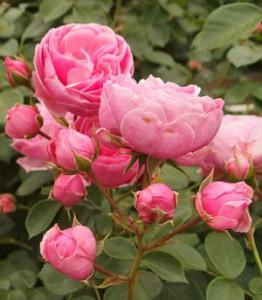 ポンポネッラはシュートの更新が少なく古枝に花を咲かせる