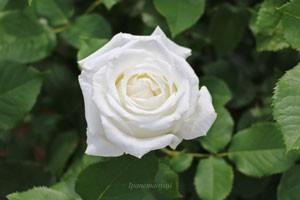 純白の花と濃い緑色の葉とのバランスが美しい
