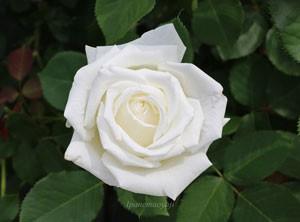 大輪の花を咲かせて花もちも非常によいバラです