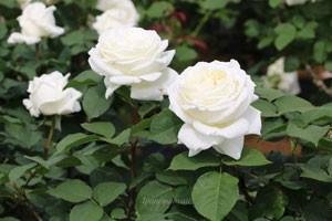 1輪咲きで花つきもよく、整った花姿が楽しめます