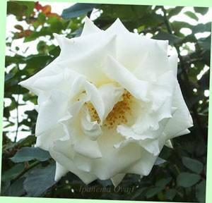ヨハネパウロ2世 小さな苗木でも大きな花を咲かせます