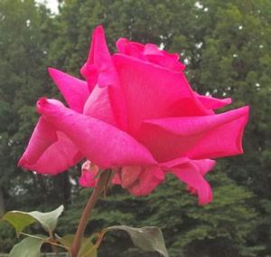 プリンセス アイコは花つきがとてもよい品種