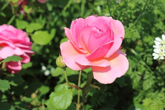プリンセス アレキサンドラ オブ ケントは花弁の重さでうつむいて咲きます