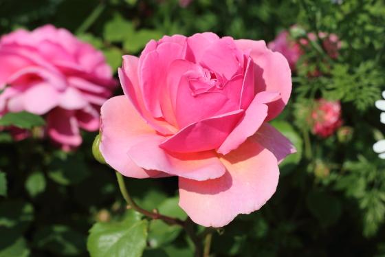 プリンセス アレキサンドラ オブ ケントの花径は11cm以上