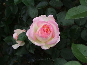 プリンセス・ドゥ・モナコの花径は約12cmの大輪花です