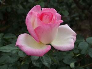 プリンセス・ドゥ・モナコは白地にピンク色の覆輪が入る
