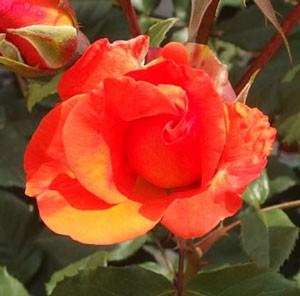 プリンセス ミチコの花形は半八重咲きです