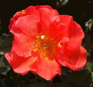 プリンセス ミチコはフロリバンダ系統のバラ