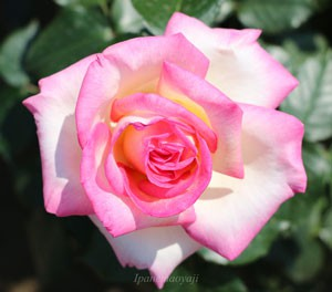 プリンセス・ドゥ・モナコの整った花形は半剣弁高芯咲き