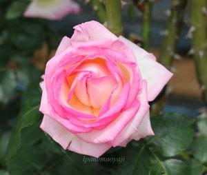 プリンセス・ドゥ・モナコは花つき花もちがよい品種