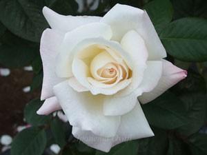 プリスタインの花径は約14cmの巨大輪です