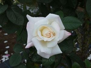 プリスタインの開花はゆっくりだが花もちがよいバラです